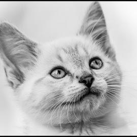 Kitten by Dave Lipchen - Black & White Animals