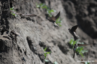 Photo: Sand martins demonstrating amazing aerial coordination