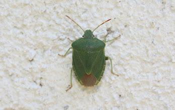 Photo: Palomena prasina    Heteroptera > Pentatomidae