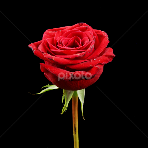 A single red rose single flower flowers pixoto a single red rose by dipali s flowers single flower plant detail mightylinksfo