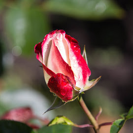 ready to open by Janet Marsh - Flowers Flower Buds ( red and white, rose garden,  )