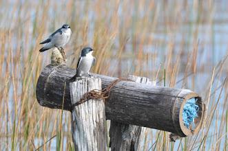 Photo: Mangrove Swallow (Mangroveschwalbe); Bacalar, QR