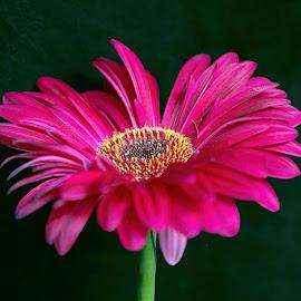 The Mum by ANN CASON - Flowers Single Flower ( flowers, selective, petals, colors )