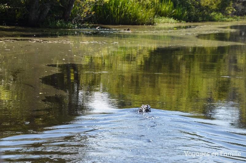 gator bayou