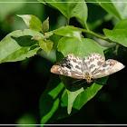 Abraximorpha davidii 白弄蝶