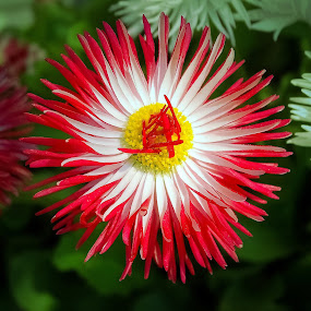Red burst by Sue Delia - Flowers Single Flower ( red flower, flower,  )