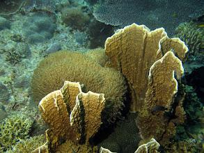 Photo: Пластинчатый огненный коралл Millepora platypyylla