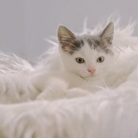 Wiscar 2 by Anita Meis - Animals - Cats Kittens ( kitten, shoot, newborn )