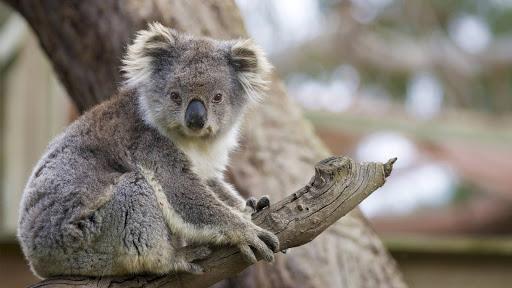san-diego-zoo-koala.jpg - A male Queensland koala at the San Diego Zoo.