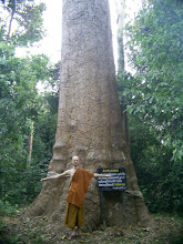 Photo: Big tree in Pu Wieng national park