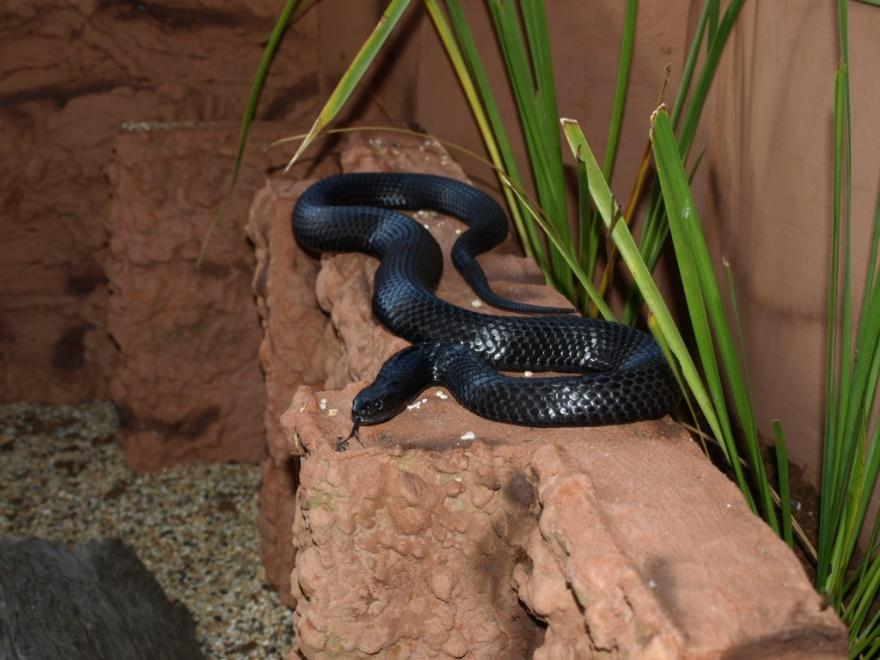 Image result for • Chappell Island Tiger Snake (Notechis ater niger)
