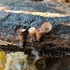 Fluted Bird's Nest Fungus