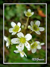 Photo: Saxifrage paniculée, Saxifraga paniculata