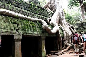 Photo: Year 2 Day 44 -   Roots of Silk Cotton Tree, Hugging the Wall in Ta Prohm