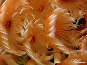 Photo: Social Feather duster tube worm, macro view