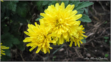 Photo: Crizantema - 2014.10.25 - de pe Calea Victoriei album http://ana-maria-catalina.blogspot.ro/2016/04/crizanteme.html