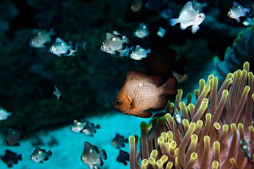 Anemone garden by Alin Miu - Landscapes Underwater ( school of fish, underwater, anemone fish, anemone, reef life )