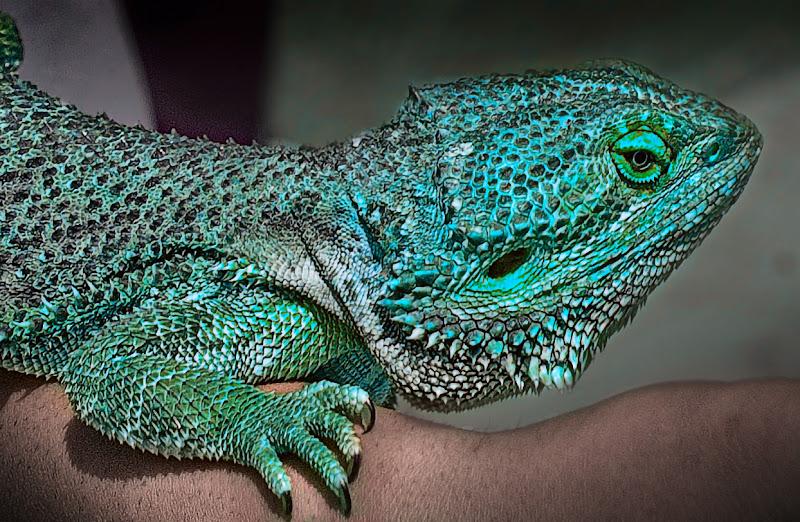 Iguana di Pinco_Pallino