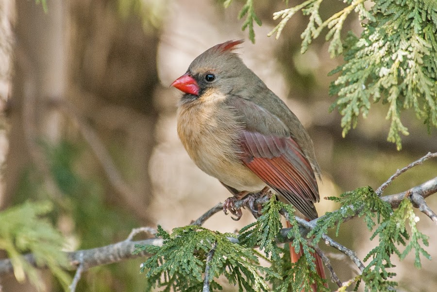 Northern Cardinal (female) by Rejean Gagne - Animals Birds
