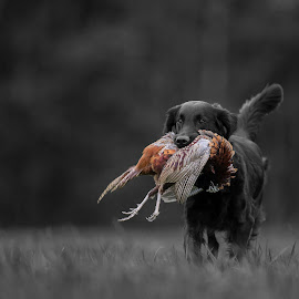 Flatcoated retriever by Ronnie Bergström - Animals - Dogs Running ( flat-coated, b&w, nature, sweden, flatcoated, bird, dogs, black and white, dog )