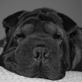 The nose knows by Kenny Fendler - Animals - Dogs Portraits ( pets, gus, shar pei, dog, naptime )