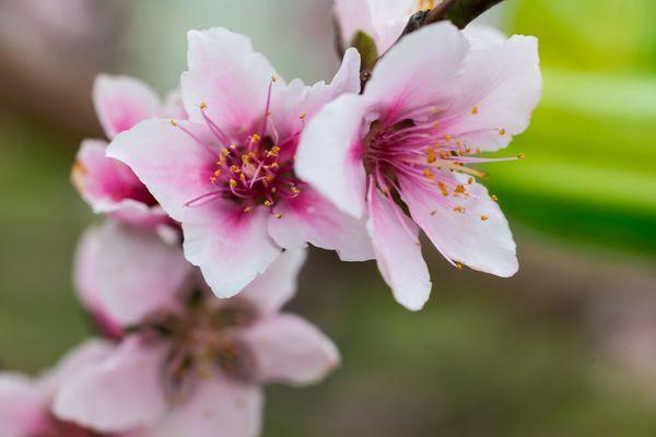 梨山水蜜桃禮盒
