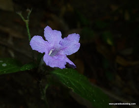 Photo: Blue flower (???) at Vallarta Botanical Gardens