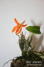 Photo: Dendrobium unikum