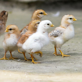 Chicks. by Sofia Zaman - Animals Birds ( cuteness, nature, nature up close, chicks )