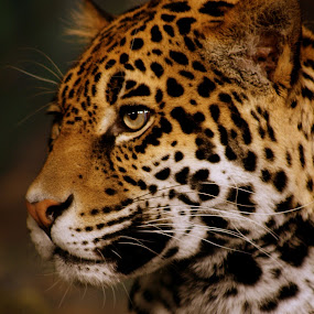 Leopard Profile by Julie Anderson - Animals Other Mammals ( leopard,  )
