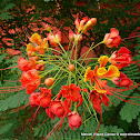 Clavelina roja