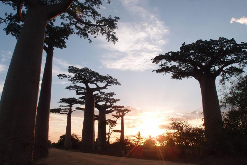 Sunset at Baobab Avenue