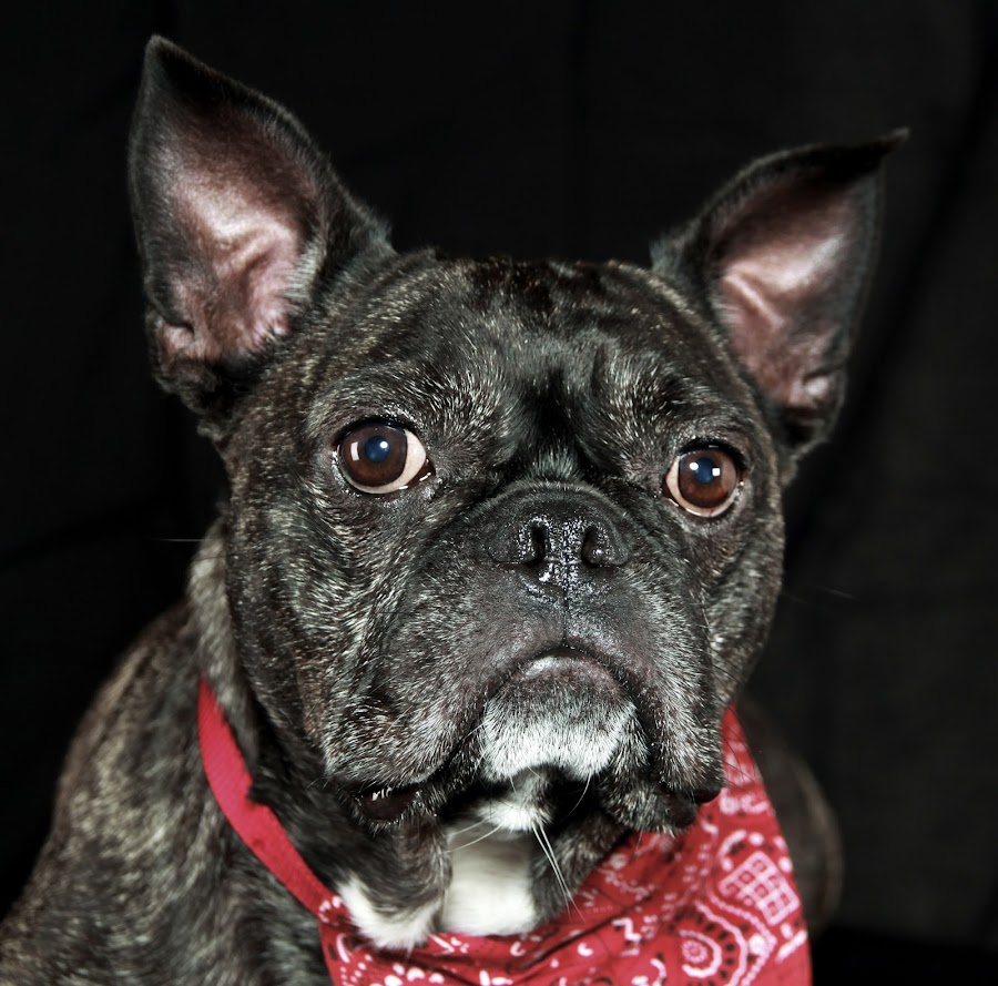 i am Vito by Franky Vanlerberghe - Animals - Dogs Portraits ( dog,  )