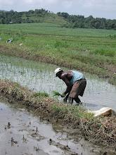 """Photo: Transplanting rice at the  """"Camilo Cienfuegos"""" cane coop in Bahia Honda, Pinar del Río."""