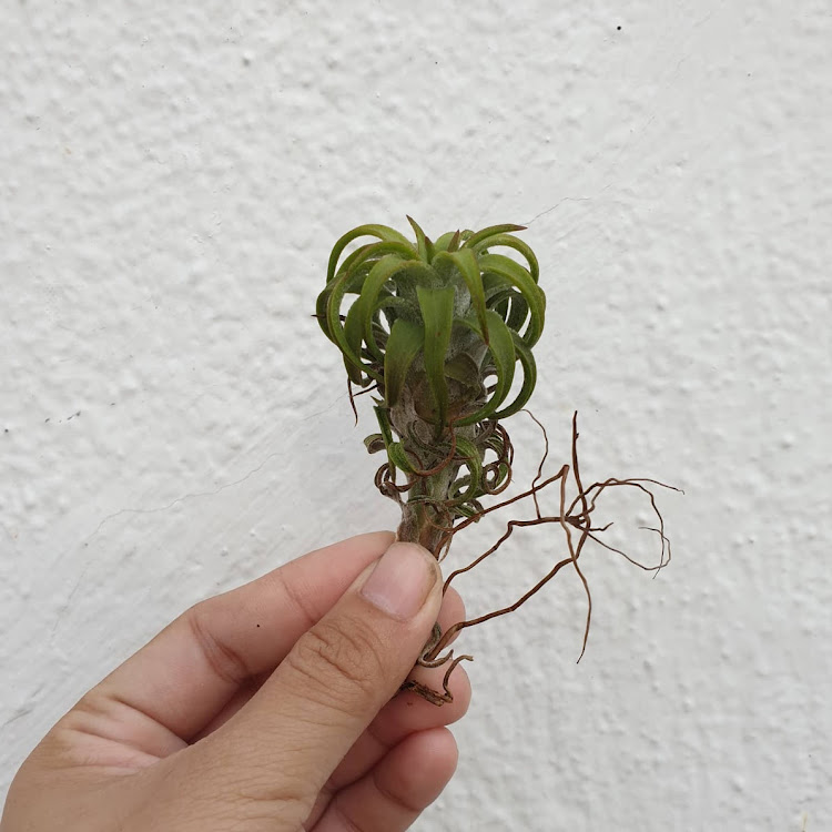 Tillandsia Ionantha Var Vanhyningii (Curly Form) by AquaticsForevers Enterprise