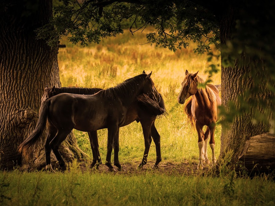 Horses in the shade by Jocke Mårtensson - Animals Horses ( horses, grass, summer, trees, shade,  )