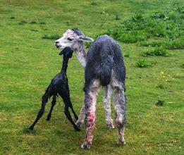 Photo: En halv time efter fødsel rejser den lille sig op og går! William er dybt imponeret. Det er jeg også.