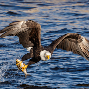 Bald Eagle Catching a Fish by Buddy Woods - Animals Birds ( bird, predator, eagle, bald eagle, reptor, eagles, bald eagles, birds,  )