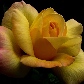rose by Adriana Petcu - Flowers Single Flower ( rose, nature, beauty, yellow, garden )