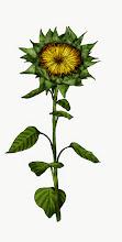 Photo: Sonnenblume 2