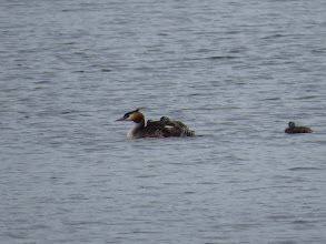 Photo: 13 Aug 13 Trench Lock Pool: Family of 5 small Great Crested Grebes clamber aboard at Trench Lock. I only noted four, but this photo revealed the true number. (Ed Wilson)