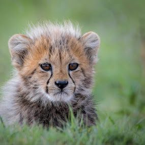 Cheetah Cub by Helen Nickisson - Animals Lions, Tigers & Big Cats ( cub, cats, african, cheetah, baby animal, cute, wild, furry, wildlife,  )