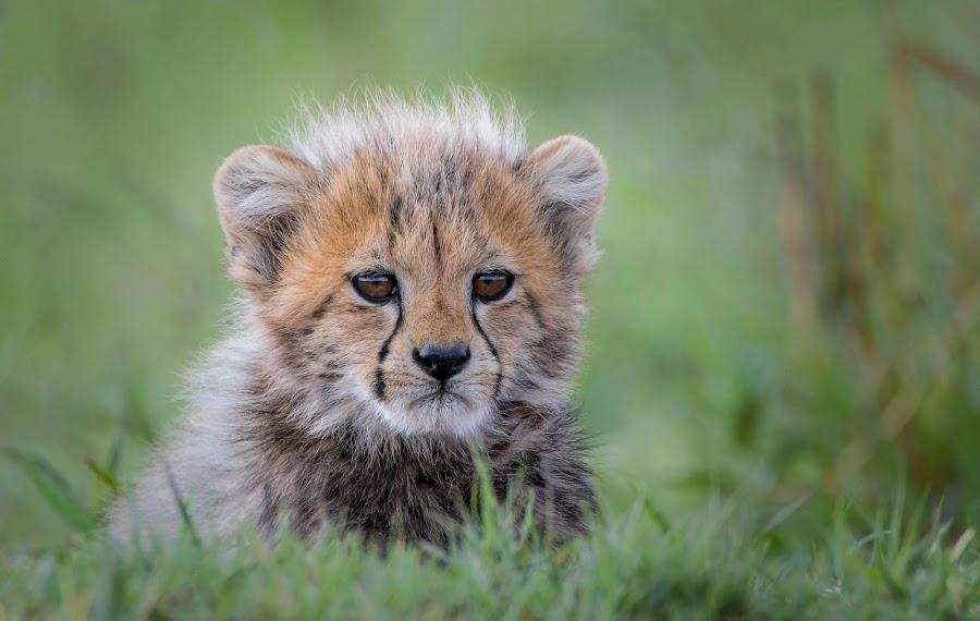 Cheetah Cub by Helen Nickisson - Animals Lions, Tigers & Big Cats ( cub, cats, african, cheetah, baby animal, cute, wild, furry, wildlife,  )