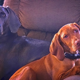 Sonny and Cher by Jim Antonicello - Animals - Dogs Portraits