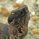 Cottonmouth - juvenile