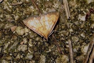 Photo: Ecpyrrhorrhoe rubiginalis    Lepidoptera > Crambidae