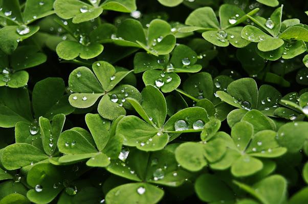 Trifoglio verde dopo un temporale di jovi55