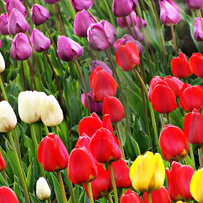 tulips  by Adriana Popescu - Flowers Flower Gardens ( red, colorful, violot   green, colors, white, tulips, yellow,  )