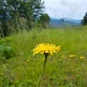 Yellow Flower by Riddhima Chandra - Flowers Flowers in the Wild ( moutain tops, yellow flowers, one flower, wilderness, focus )