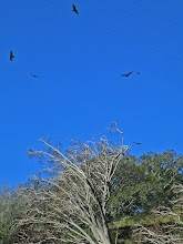Photo: Turkey Vultures Soar Over Parson's Pond